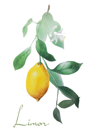 botanical branch: lemon botanical nature vector illustration Illustration