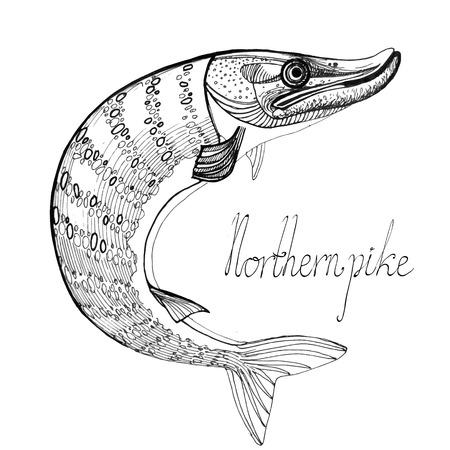 northern pike: northern pike vector illustration set Illustration