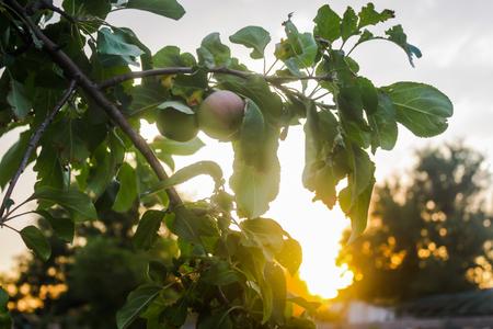 Apple tree with apples, summer.Garden, village, harvest time