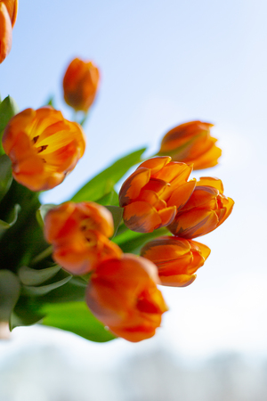 Spring orange tulips in a bouquete on blue sky background.