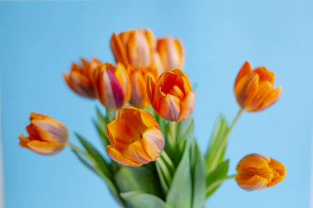 Spring orange tulips in a vase on blue background. Horizontal view.