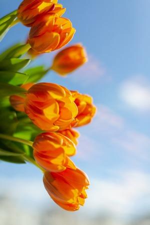 Spring  orange tulips in a bouquete on blue sky background. Archivio Fotografico