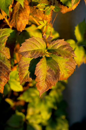 Colorful ivy or vine branches in the garden in autumn in the early  evening in the village. Green, orange, yellow and red leaves pattern.