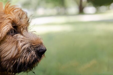 A red puppy briard playing in the park. 3 months French shepherd is having fun and running commands. Stock fotó