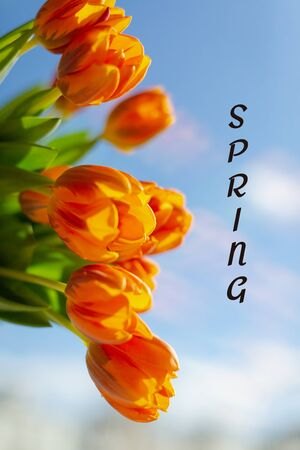 Spring orange tulips in a bouquete on blue sky background. Text Spring.
