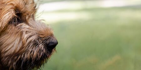 A banner with a 3 month's puppy of red briard on the meadow. Youn French shepherd is playing and running commands of his owner in the summer day.