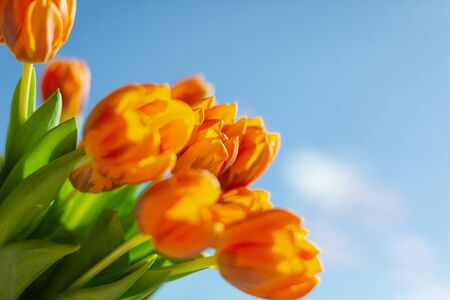 Spring  orange tulips in a bouquete on blue sky background. Stock fotó