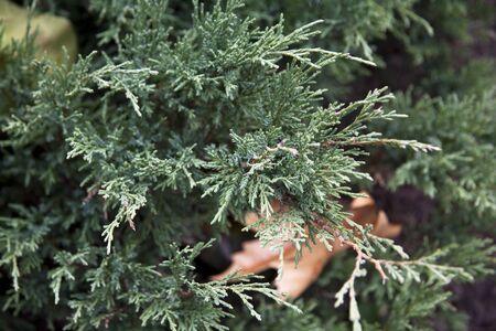 Pine tree close up Stock Photo - 8783418