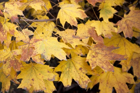 Dry yellow leaves photo