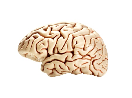 brain isolated on white photo