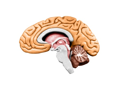 brain stem: brain model Stock Photo