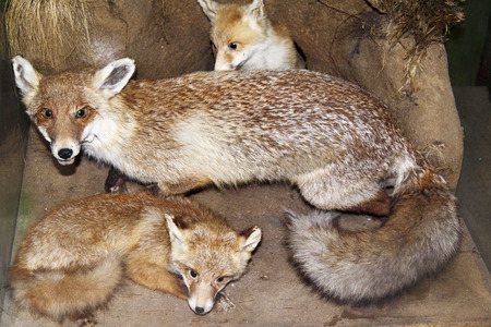 progeny: Fox and her progeny for you site Stock Photo