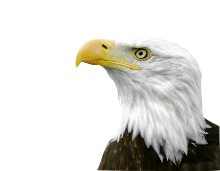 haliaeetus: An American Bald Eagle isolated on a white background.