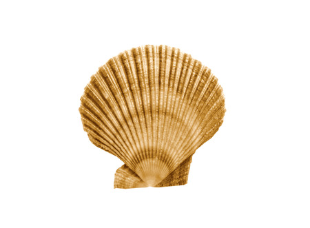 coquille: Whole single fresh scallop on white background for site