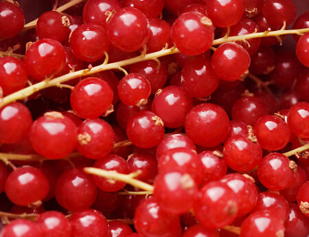 bacca: background of red berries in closeup .