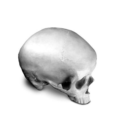 cranium: Homo sapience cranium isolated on white background Stock Photo