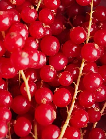 bacca: background of red berries in closeup