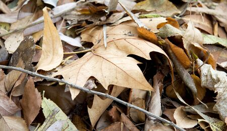 sear and yellow leaf: Dry leaves close up Stock Photo
