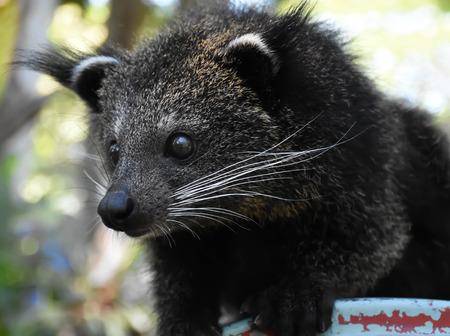 bearcat: The Little Bearcat looking for foods at Khao Keaw open zoo