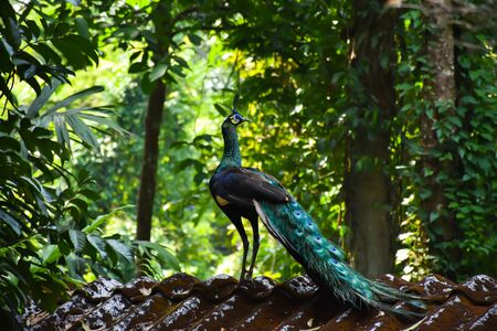 Wonderful Peacock on the roof top in Chanthaburi photo