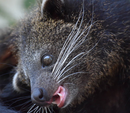 bearcat: The baby Bearcat in kindly mood