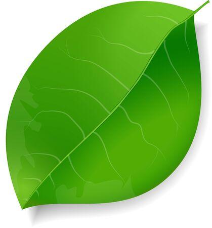Single Green leaf with shadow