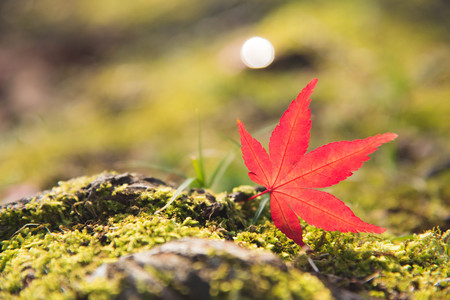 Red Momiji maple leaf on the green moss and rock