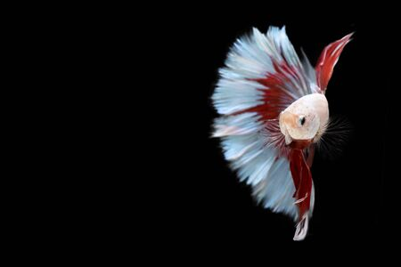 agressive: Half red and blue Betta Siamese fighting fish, Betta splendens Pla-kad ( biting fish ) of Thailand, swimming motion on black isolated background
