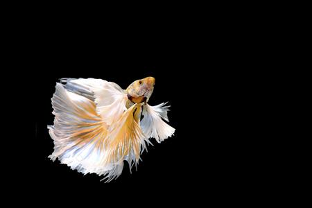 agressive: Golden Betta Siamese fighting fish, Betta splendens Pla-kad ( biting fish ) of Thailand, swimming motion on black isolated background