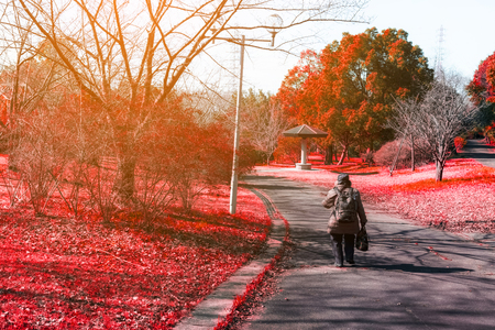 Woman on the road in Red autumn maple in nature with sun light, soft burr, low clarity, lonely concept, autumn concept