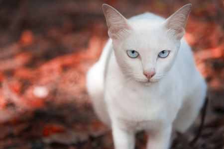 momiji: The white cat is staring and sitting on the red ground made from red Maple leaves in the park. Autumn or Spring season. Selective focus at the eyes, Animal and mammal concept , Season concept