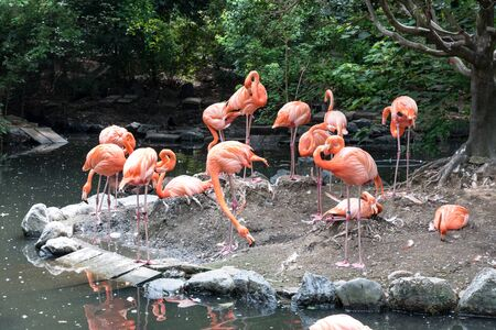 Flock of pink flamingos in pond. Bird and wild life animal concept. Natural life of flamingo Фото со стока - 129404385