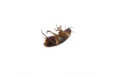 fumigador: cucarachas muertas falta de definición en fondo blanco.