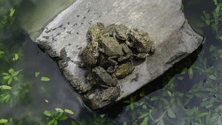 Toad standing together on a rock in a pond. Stock Photo