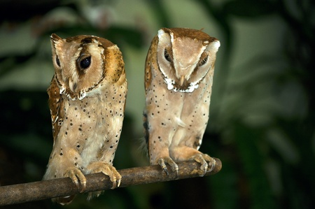 Two midget barn owls perched on a wooden stick. Stock Photo - 9419660