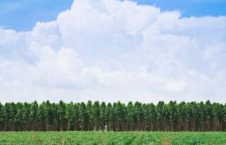 plats: Eucalyptus forest in Thailand, plats for paper industry Stock Photo