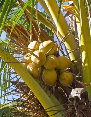 yellow coconut at tree  photo