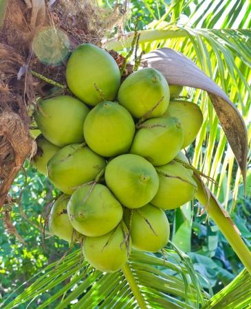 palmtrees: green coconut at tree  Stock Photo