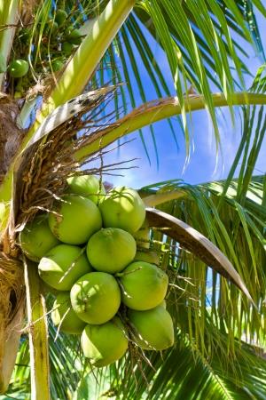 green coconut at tree  photo
