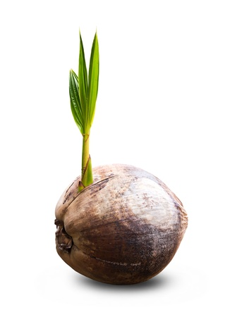 coconut seedlings: Sprout of coconut tree on white background Stock Photo