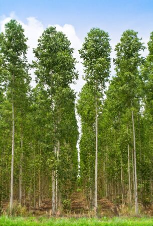 plats: Eucalyptus forest in Thailand, plats for paper industry
