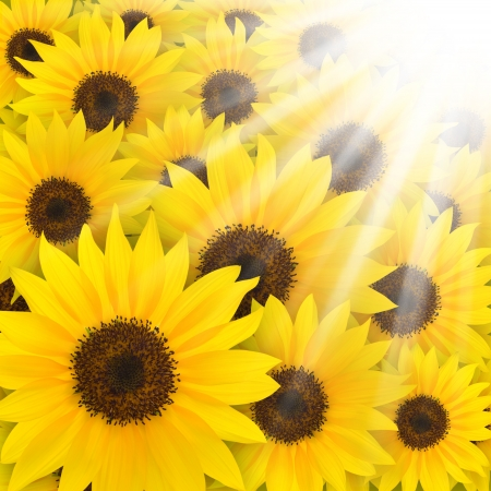 Golden sunflower in the field  photo