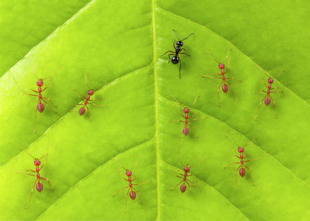 Black ant among red ants on leaf , different concept