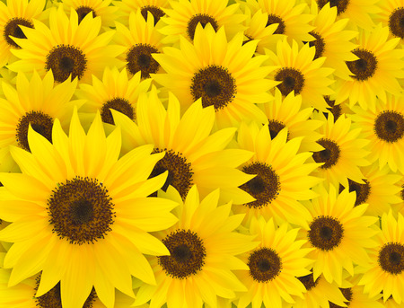 Yellow sunflower pattern, summer and spring time