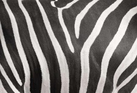 Zebra stripe skin texture background