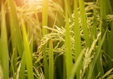 close up rice paddy field