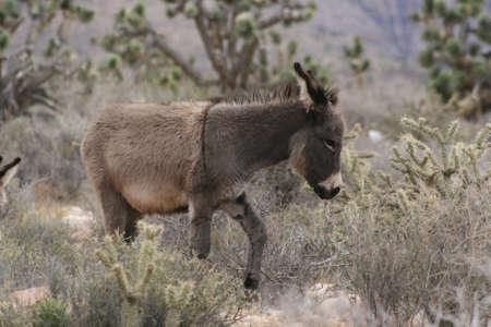 burro: Striped Burro