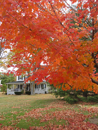 typical new england tree