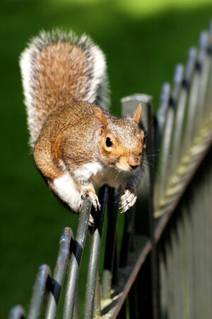 image of a squirrel walking on the fence  photo