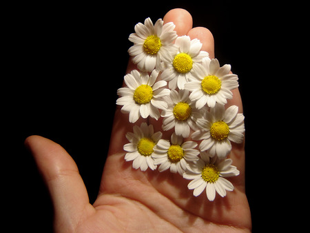 daises:                   holding some daisies in hand              Stock Photo